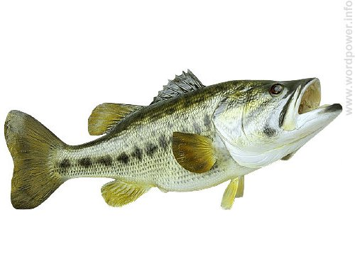 A photo quality image of a fish