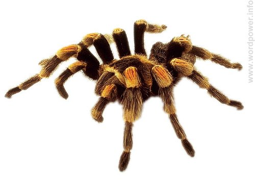 A photo quality image of a tarantula spider.